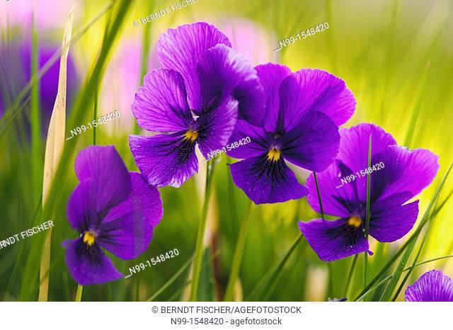 Mountain pansy Viola lutea ssp  lutea, purple colour form, Vosges, Alsace, France