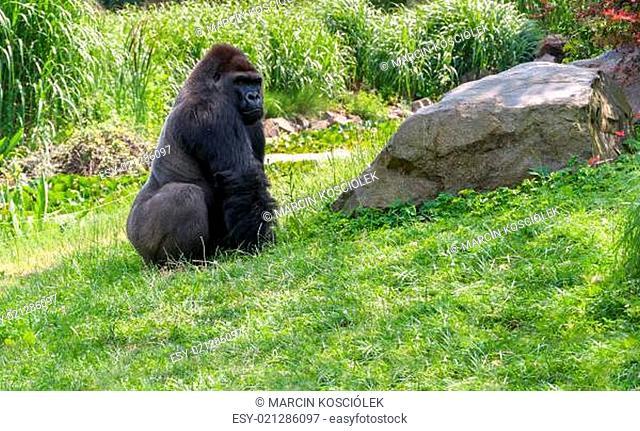 Gorilla on grass