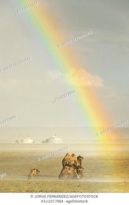 Camels under the rain with rainbow, Gobi desert, Mongolia