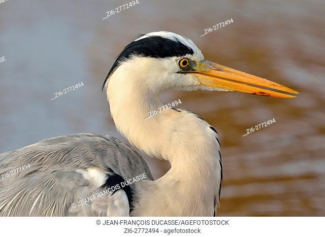 Grey heron (Ardea cinerea), portrait, Sunset Dam, Kruger National Park, Mpumalanga, South Africa, Africa