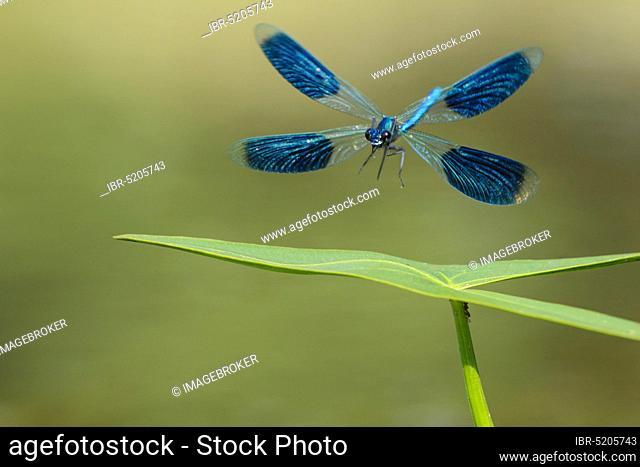 Banded demoiselle (Calopteryx splendens) Lower Saxony, Germany, Europe