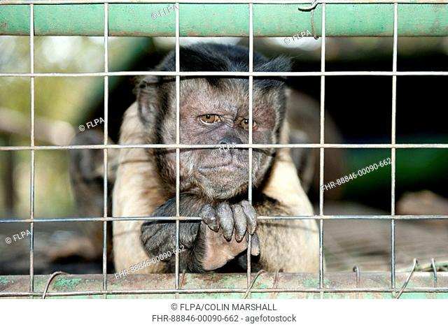 Capuchin Monkey (Cebinae sub-family), Tzaneen Lion and Predator Park, near Tzaneen, Tzaneen district, Limpopo province, South Africa