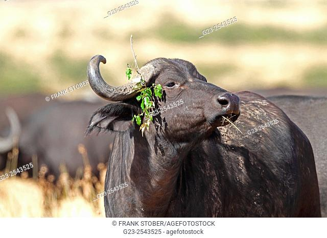 Buffalo with green ear. Maasai Mara National Reserve, Kenya