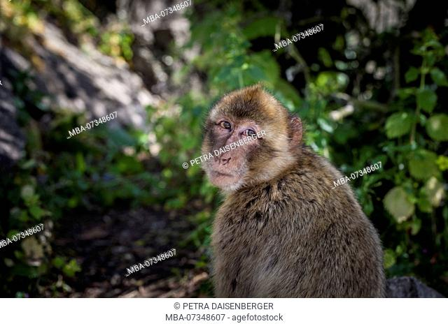 Barbary macaque looking into the camera, a macaque (Macaca) living on the peninsula of Gibraltar on the Rock