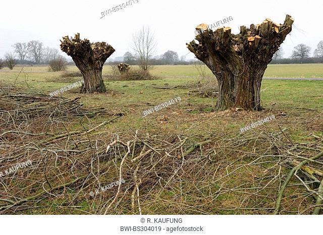 White willow (Salix alba), pollarded willows in meadow, Germany, North Rhine-Westphalia, Ahse