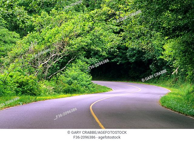 Curving road disappears into forest trees, near Crescent City, California
