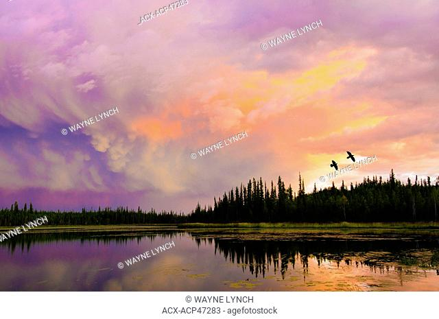 Ravens Corvus corax flying across a boreal lake at sunset, Yellowknife environs, Northwest Territories, northern Canada