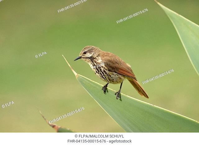 Spotted Morning-thrush (Cichladusa guttata) adult, perched on agave leaf, Lewa Wildlife Conservancy, Kenya, October