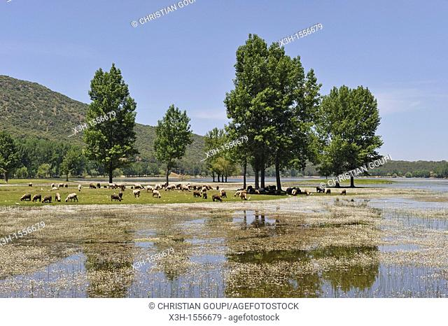 flock of sheep by the Dayet Aoua lake, around Ifrane, Middle Atlas, Morocco, North Africa