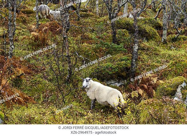 Sheep on a wood, Eidsfjorden fiord, Langøya island, Archipelago of Vesterålen, county of Nordland, Norway, Europe