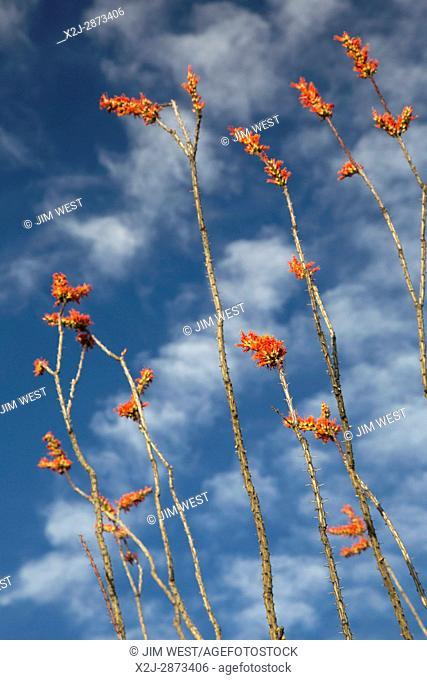Tucson, Arizona - Ocotillo cactus (Fouquieria splendens) in bloom in the Cactus Forest in the Rincon Mountain District of Saguaro National Park