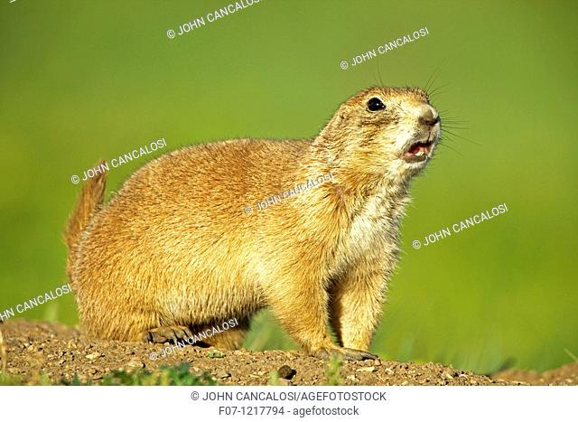Blacktail Prairie Dog Cynomys ludovicianus Wyoming - USA - Social animals that live in 'towns' and post sentinels to warn of impending predators - Live in and...