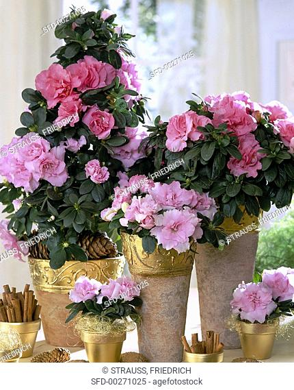 Azaleas in vases decorated for Christmas