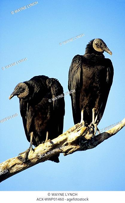 Adult American black vultures Coragyps atratus, Everglades National Park, Florida, USA