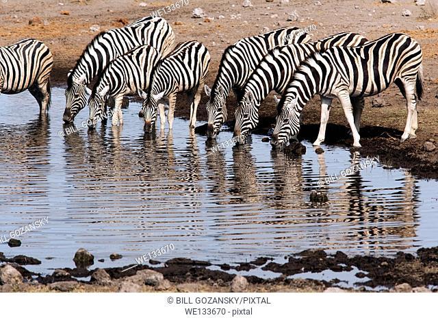 Burchell's zebra (Equus quagga burchellii) at Koinchas Waterhole in Etosha National Park - Namibia, Africa