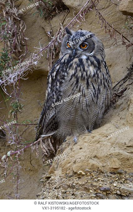 Eurasian Eagle Owl (Bubo bubo), young bird, resting in a sand cliff, watching attentively, bright orange eyes, nice colours, wildlife, Europe