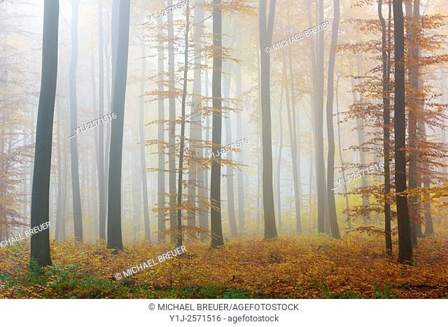 Beech forest on misty morning, Autumn, Nature Park, Spessart, Bavaria, Germany, Europe