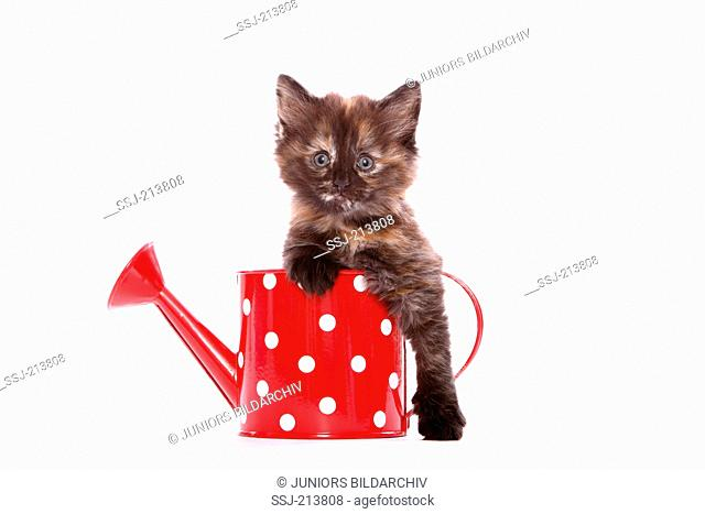 Norwegian Forest Cat. Kitten (6 weeks old) in a small red watering can with white polka dots. Studio picture against a white background. Germany