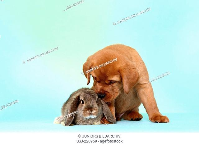 Labrador Retriever. Puppy (5 weeks old) sniffing at dwarf lop-eared bunny. Germany. Studio picture seen against a turquoise background