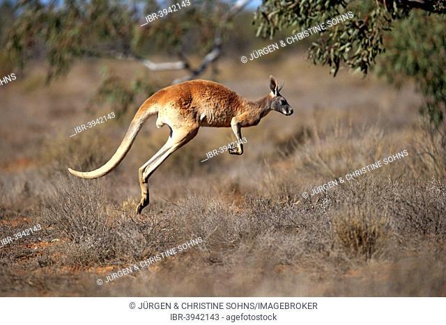 Red Kangaroo (Macropus rufus), adult, jumping, Sturt National Park, New South Wales, Australia