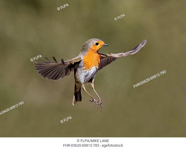 European Robin (Erithacus rubecula) adult, in flight, Warwickshire, England, February