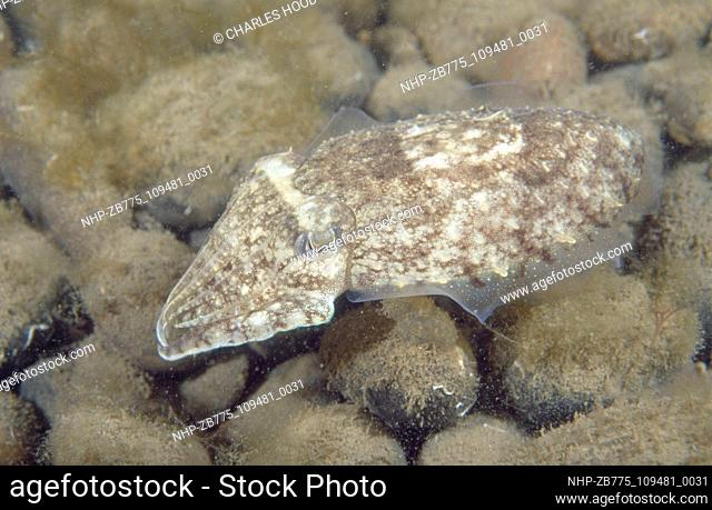 Common cuttlefish  Date: 25/09/2003  Ref: ZB775-109481-0031  COMPULSORY CREDIT: Oceans Image/Photoshot