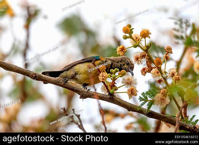 bird variable sunbird or yellow-bellied sunbird, Cinnyris venustus (formerly Nectarinia venusta), is a sunbird. Wondo Genet, Ethiopia Africa safari wildlife