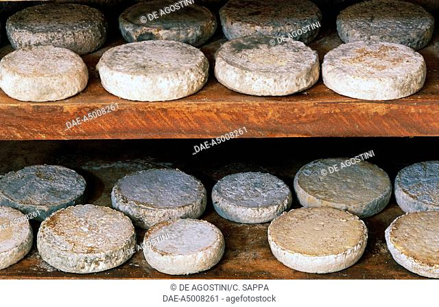 Aging of tome of raw goat's milk, Ivano Challier farm, Balboutet, suburb of Usseaux, natural dell'Orsiera-Rocciavre, Piedmont, Italy