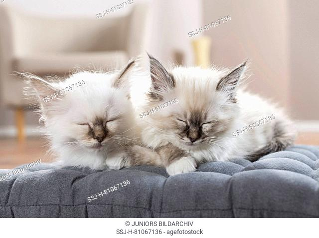 Sacred cat of Burma. Two kittens sleeping on a cushion. Germany