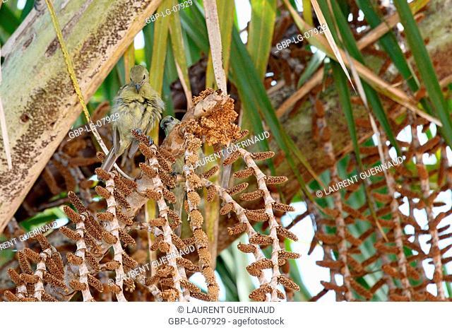 Bird, Sanhaço coconut tree, Lençóis Maranhense, Lençois, Barreirinhas, Maranhão, Brazil