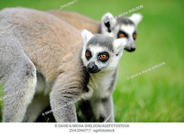 Close-up of two ring-tailed lemur (Lemur catta) on a meadow