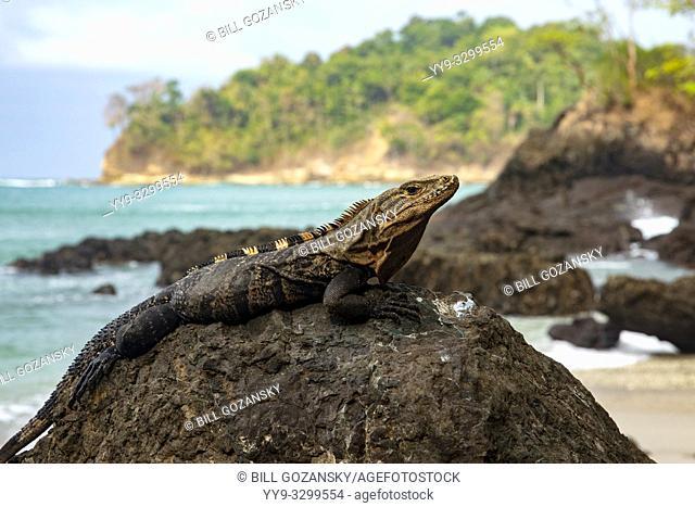 Black spiny-tailed iguana (Ctenosaura similis) - Playas Gemelas Beach, Manuel Antonio National Park - Quepos, Costa Rica