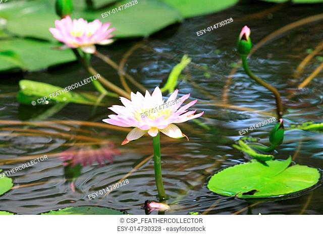 Water white lily flower in Japan