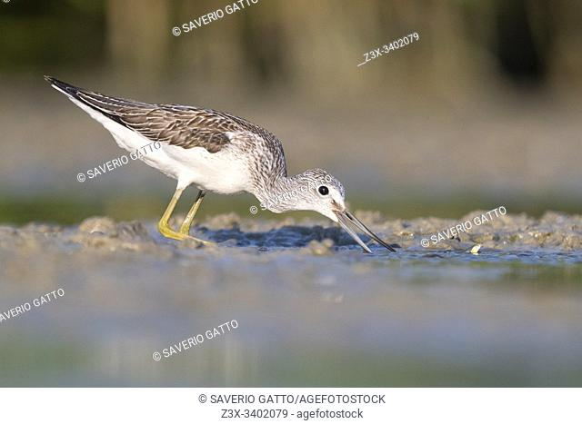 Greenshank (Tringa nebularia), side view of an adult catching fish in a pond, Campania, Italy