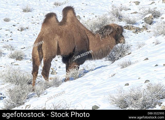 Asie, Mongolie, Ouest de la Mongolie, Montagnes de l'Altai, Vallée avec neige et rochers, Chameaux de Bactriane dans la montagne / Asia, Mongolia, West Mongolia
