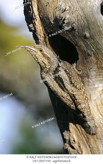 Eurasian Wryneck ( Jynx torquilla ) perched in front of its nest hole, showing, cleaning, sticking out its long barbed sticky tongue, wildlife, Europe