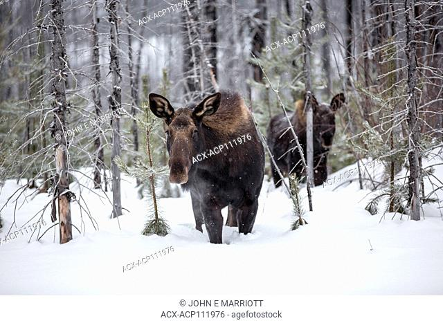 Moose calf and mother, Alces alces, British Columbia, Canada