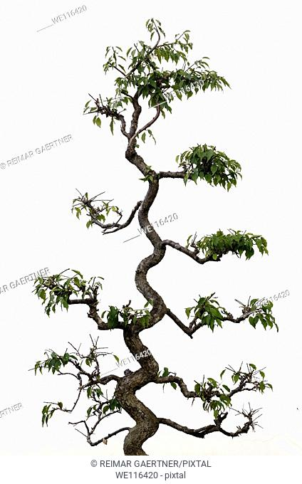Twisted trunk of a shaped topiary tree on a white wall in Chengkan China
