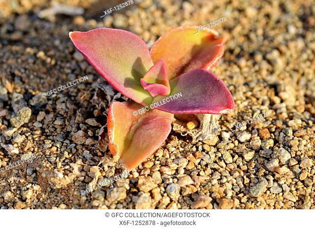 Mesembryanthemum guerichianum in habitat, Richtersveld Transfrontier National Park, South Africa