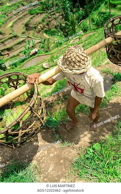 A farmer working on rice terraces, near Ubud; Tegallalang, Bali Island, Indonesia