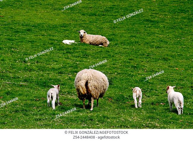 Sheep in a meadow, Asturias, Spain