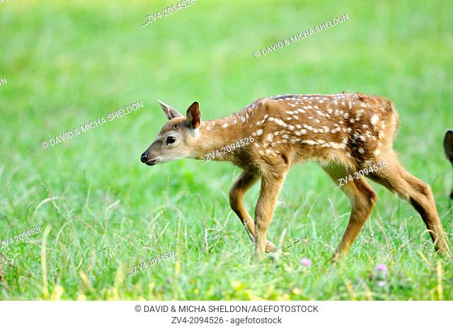 Close-up of a sika deer (Cervus nippon) youngster standing on a meadow