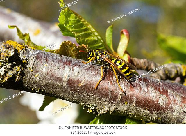 Close-up of a European Paper Wasp sitting on a Sam Cherry tree branch in Washington State, USA. Polistes dominula