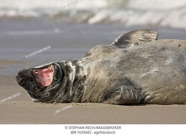 Grey Seal (Halichoerus grypus), on the beach of the island of Heligoland, Helgoland, Schleswig-Holstein, Germany, Europe