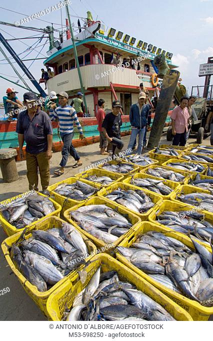 port workers unload fresh cateched fish from boats. muara angke fish market. jakarta north. indonesia. asia