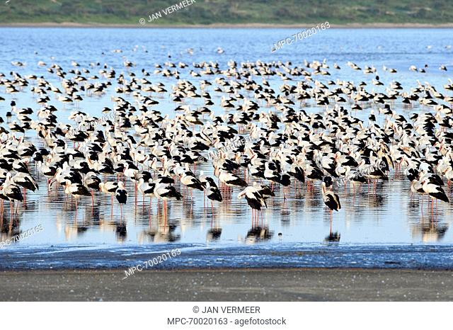 White Stork (Ciconia ciconia) large flock resting, Lake Ndutu, Tanzania