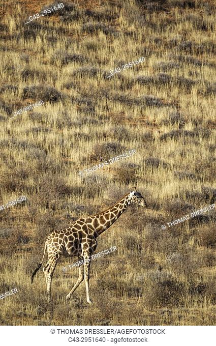 Southern Giraffe (Giraffa giraffa). Male, roaming at the foot of a grass-grown sand dune. Kalahari Desert, Kgalagadi Transfrontier Park, South Africa