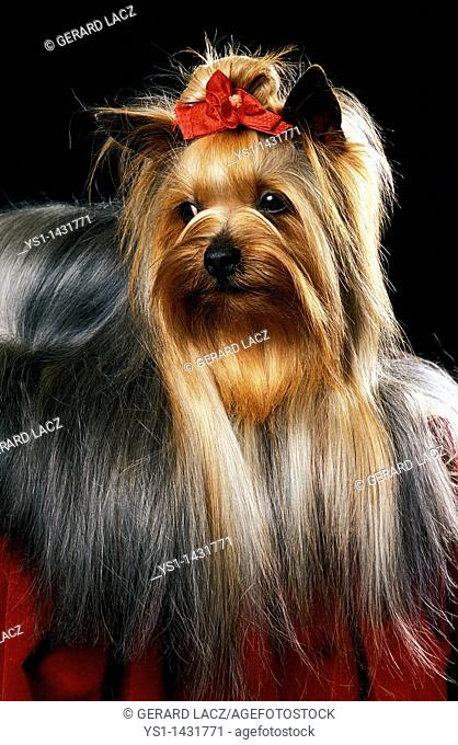 YORKSHIRE TERRIER, ADULT AGAINST BLACK BACKGROUND