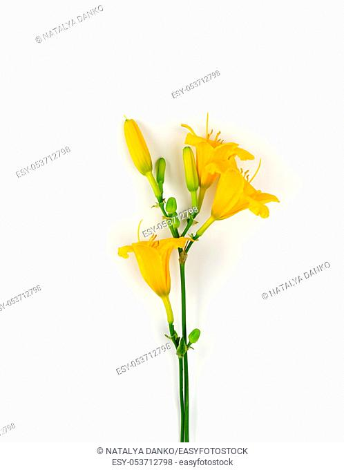 yellow flowers Daylily on a white background, top view