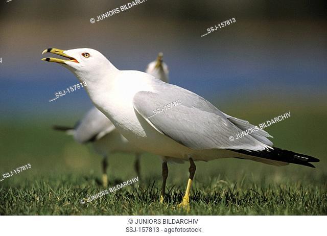 Ring-billed Gull - courtship / Larus delawarensis